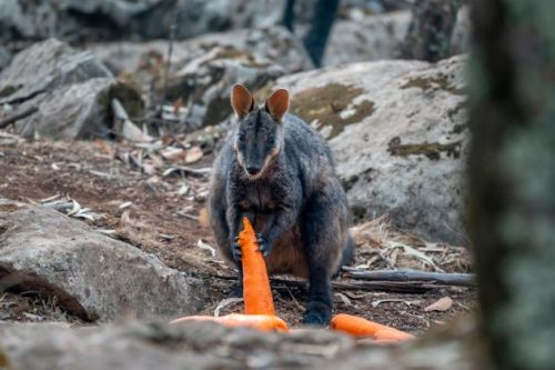 These Are Some Of The Australian Animals Hit Hardest By Wildfires