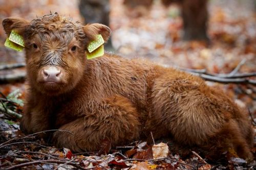Adorable newborn Highland cow is named Hope to lift spirits at country estate