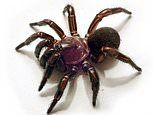 Scientists discover new group of trapdoor spiders on Australia's eastern coast