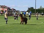 Hilarious moment ALPACA invades football pitch and charges at players during game in West Yorkshire