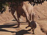 Protective elephant kicks over calf after it gets too close to its baby at San Diego Zoo
