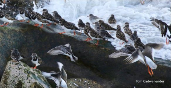 Disturbed Turnstones