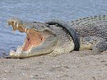Australian wranglers travel to Indonesia to save crocodile that has a tyre stuck around its neck