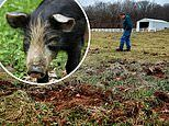 North America facing a 'time-bomb' in an explosion of millions of 'super-pigs'