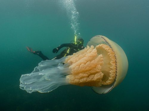 A human-size jellyfish with frilly tentacles has been caught on camera -the largest researchers had ever encountered