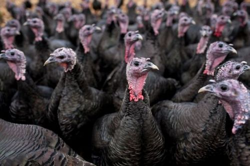 More than 10,000 turkeys to be slaughtered after bird flu confirmed at UK site