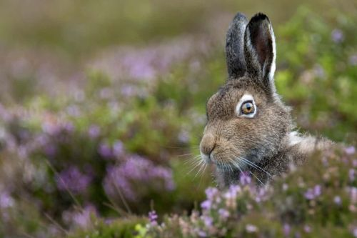 Scotland's mountain hare population is at just 1% of 1950s level