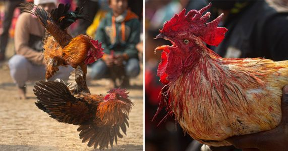 Man slashed to death by rooster with a blade during illegal cockfight