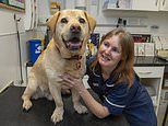 Talk about a BLOOD hound! Labrador Stumpy is Britain's biggest canine donor