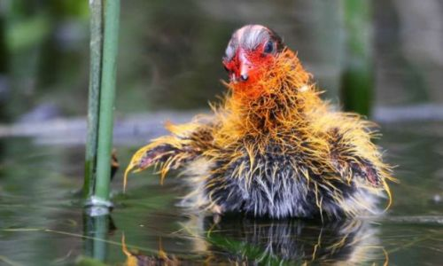 Solved: mystery of 'ornamented' coot chicks has surprising explanation