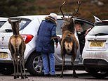 Will you let me in, deer? Stag gets friendly with visitor to Scottish beauty spot