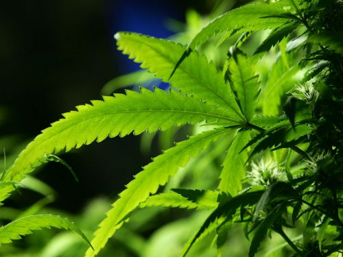 Three reasons why the Tories might legalise cannabis