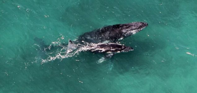 Making a more accurate pregnancy test for humpback whales