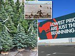 Family find nest of wasps living in Christmas tree bought outside Bunnings