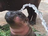 Baby pygmy hippo nicknamed Bacon gets a shower in adorable footage