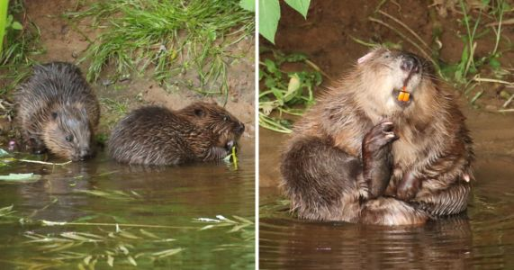 'Huge nature win' as first native beavers in 400 years allowed to remain wild
