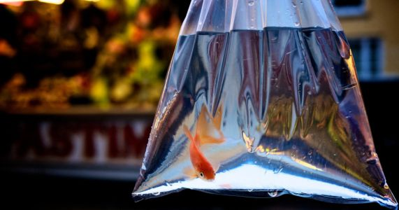 Funfairs banned from giving goldfish as prizes as 'many die within hours'