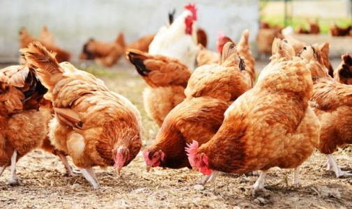 Bird flu found at farm in Suffolk meaning all 27,000 chickens will be culled