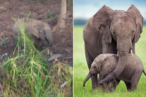 Heartbroken elephant refuses to leave her dead calf and rejects food for days