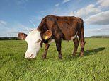 Man accused of hitting a cow with his car and slitting its throat in NSW Hunter region