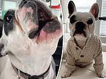 French Bulldog's unusual howl - which sounds human - has earned him 786,000 Instagram fans