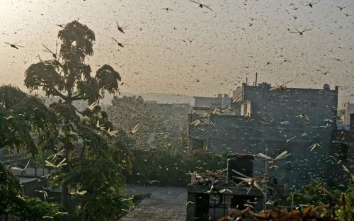 Huge locust swarms overrun Indian cities left exposed by coronavirus lockdown