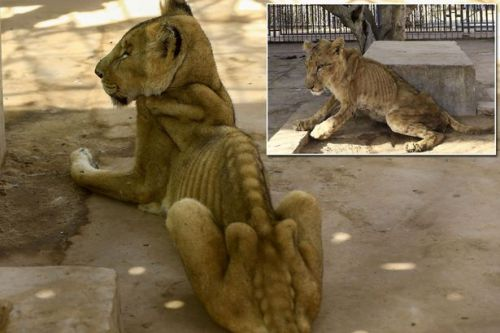 Disturbing photos of starving lions as zoo workers use own money to buy food