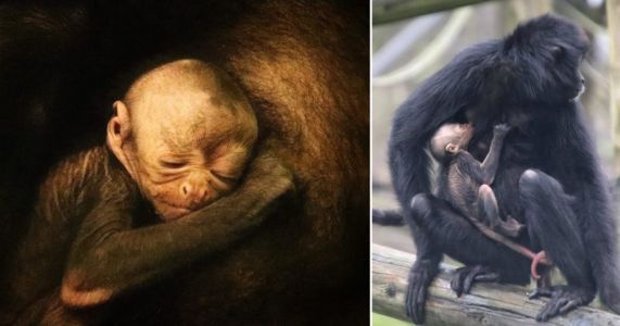 Watch remarkable moment endangered spider monkey gives birth in Birmingham zoo