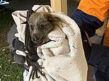 Flying fox bat survives the clutches of a hungry python