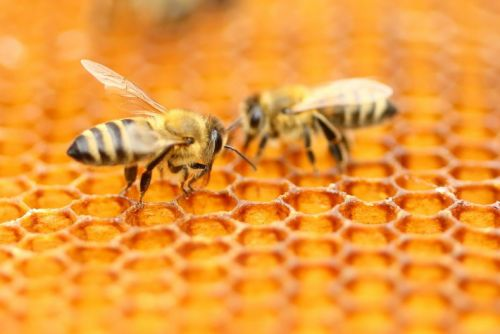 Scientists figure out how bees reproduce without having sex
