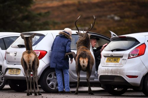 Red deer tries to hitch a lift with visitors to Scottish Highlands