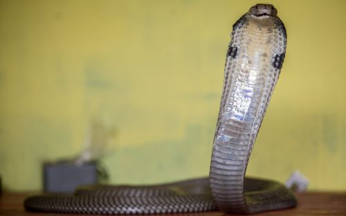 Indian man arrested for allegedly killing wife with cobra