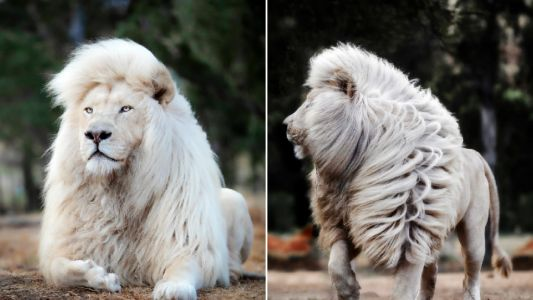 Rare white lion has a beautifully majestic mane