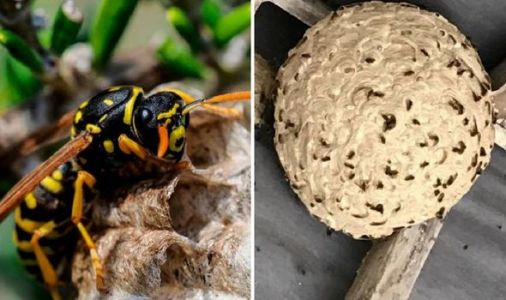 Wasp invasion warning as pests 'the size of space hoppers' to invade homes after heatwave