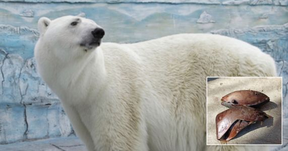 Polar bear dies after eating rubber ball thrown into zoo enclosure