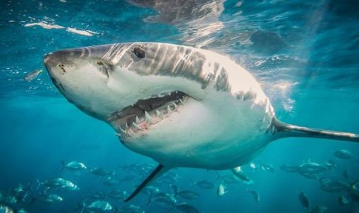 Shark mystery: Monster that devoured 9ft great white exposed after 'super-predator' hunt