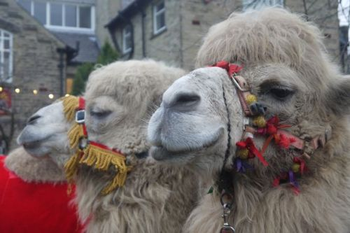 Chaos as camels terrorise local villagers after a pensioner released them