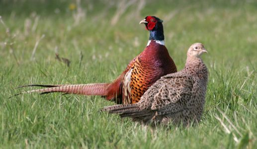 Do gamebird releases lead to increases in generalist predators?