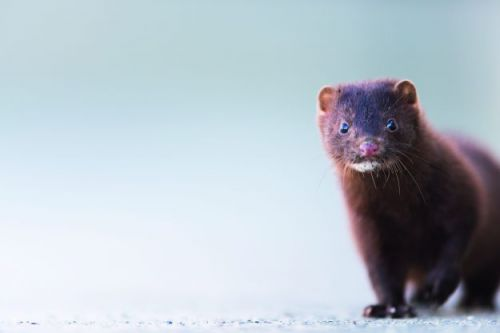 Conservationists plan complete eradication of mink from East Anglia