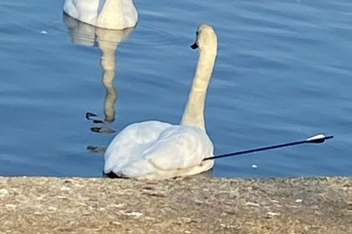 Fears of 'serial swan killer' after two birds executed with longbow in park