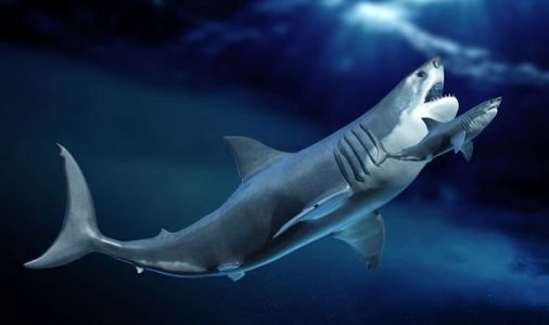 Megalodon mystery: Mega-shark tooth study reveals secrets of apex predators' early years