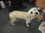 Former drug addict banned from owning dogs after poodle found starving and abandoned in Melbourne
