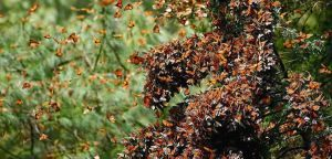 Monarch butterfly population critically low on California coast