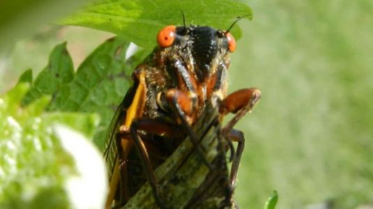 Millions of Noisy Cicadas to Emerge in the US this Year After 17 Years Underground