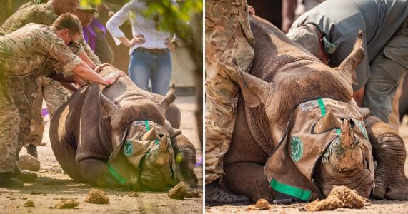 British troops help move endangered black rhinos to new home away from poachers