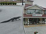 Nature reclaims the city: Alligator strides through deserted shopping center in South Carolina