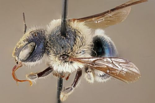 'Ultra-Rare' Blue Bee Rediscovered By Researchers In Florida