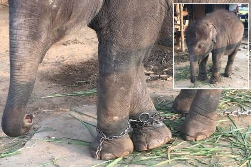 Baby elephant with legs chained together 'forced to beg for money from tourists'