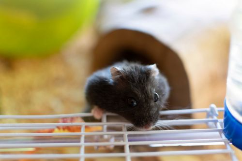 Hamster who didn't move, eat or drink was actually just stuck to his cage