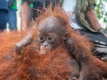 Heartbreaking moment tiny orangutan cries and clings to its mother in Borneo
